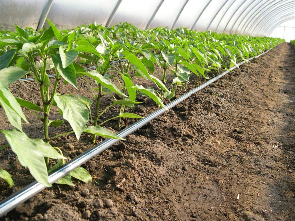 Fontos kérdés zöldségtermesztőknek: mikortól pótoljuk a tápanyagot?, főkép