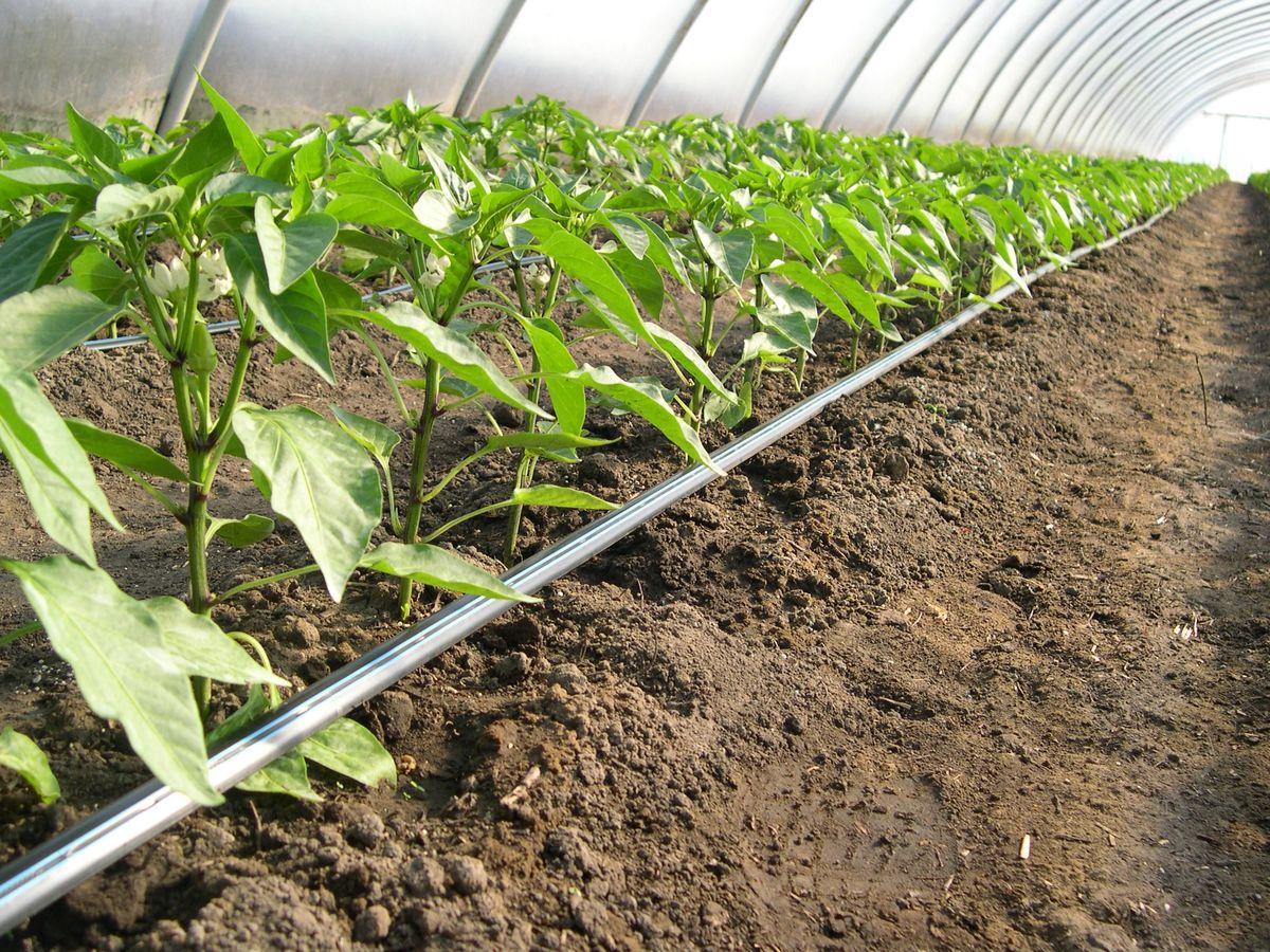 Fontos kérdés zöldségtermesztőknek: mikortól pótoljuk a tápanyagot?, post image