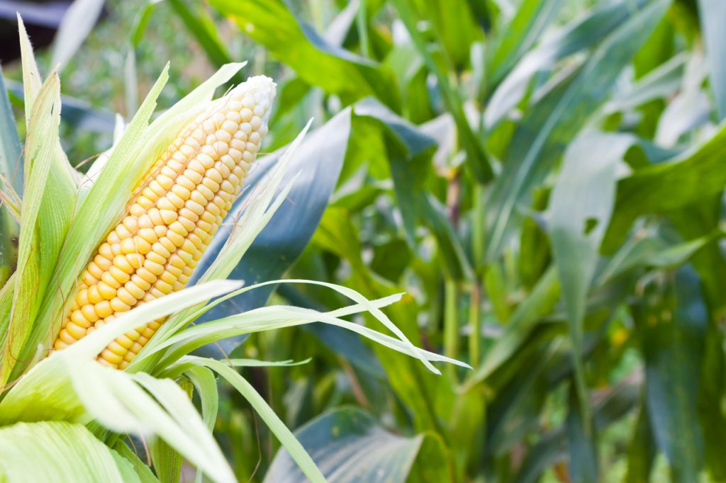 A kukorica lombtrágyázása Agroleaf Power-rel, főkép