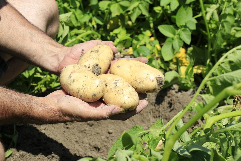A burgonya táplálása Agromasterrel, főkép