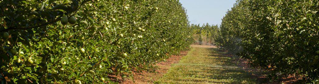 Almafák kalcium-táplálása a szép és egészséges termés érdekében, főkép