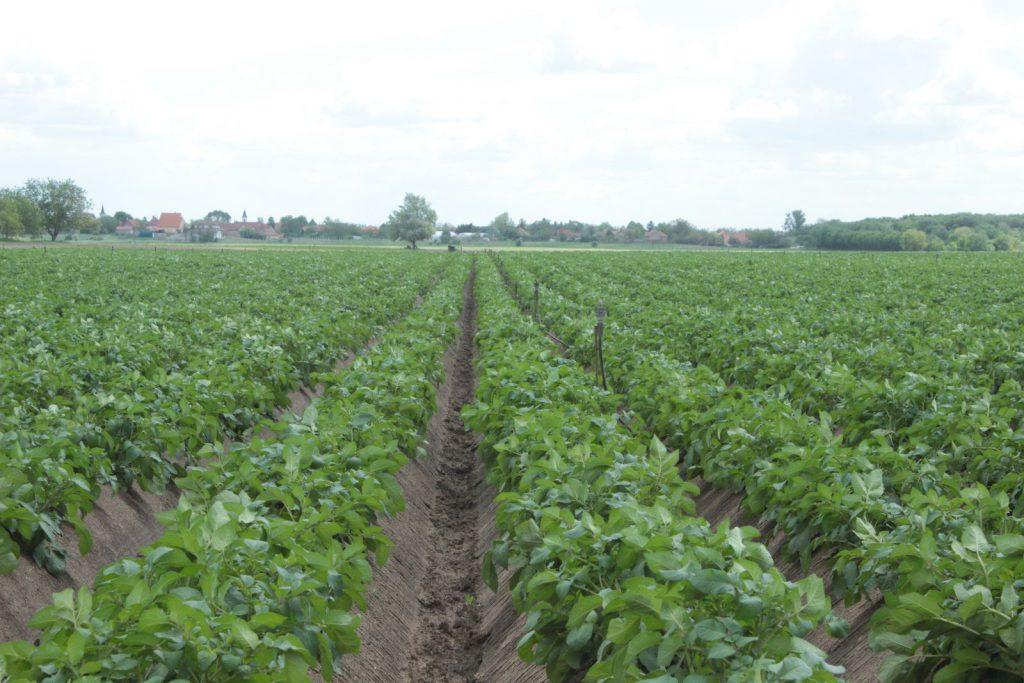 Burgonya kötődésének javtása Agroleaf lombkezeléssel, főkép
