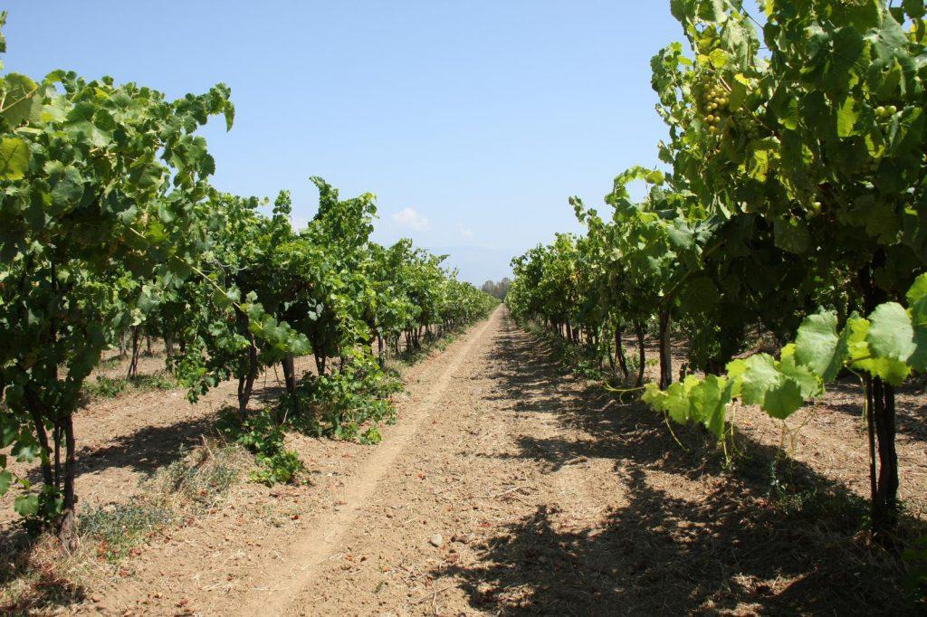 Szőlőültetvények nyári tápanyag-utánpótlása a jobb termés érdekében az ICL Agroleaf Power lombtrágya segítségével, főkép